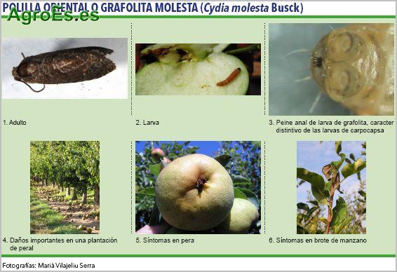 Polilla Oriental o Grafolita Molesta de frutales de pepita, Cydia molesta Busck