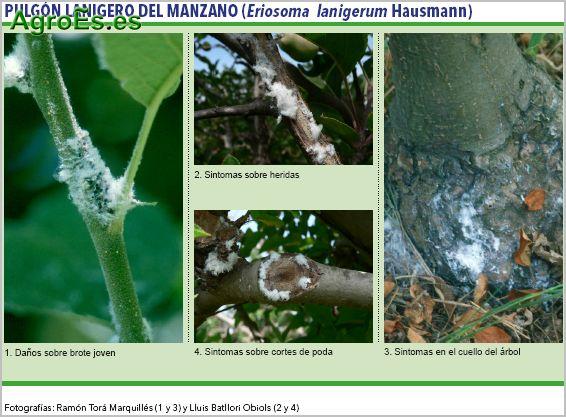Pulgón lanigero del manzano, Eriosoma lanigerum