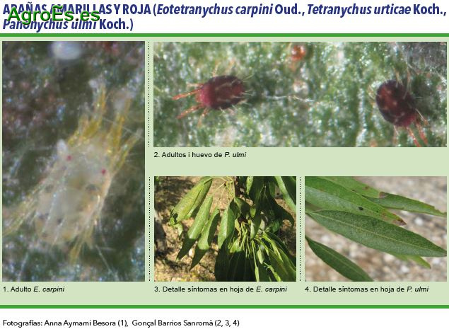 Arañas Amarilla y Roja, Eotetranychus carpini Oud., Tetranychus urticae Koch., Panonychus ulmi Koch