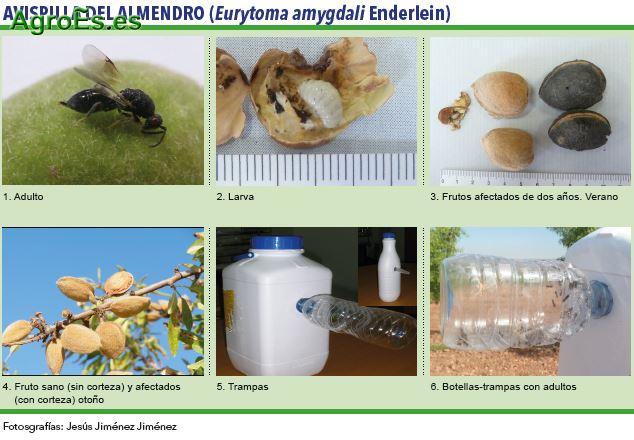 Avispilla, Eurytoma amygdali Enderlein - Plagas del Almendro