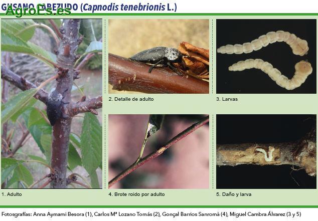Gusano cabezudo, Capnodis tenebrionis L. - Plagas del Almendro