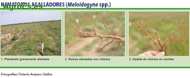 Nematodos agalladores, Meloidogyne spp. - Plagas del Almendro