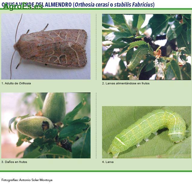 Oruga verde del almendro, Orthosia cerasi o stabilis Fabricius