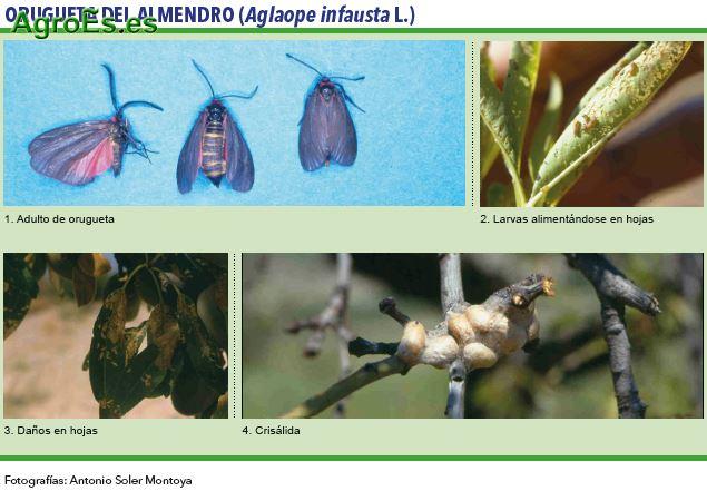 Orugueta, Ectomyelois ceratoniae Zeller - Plagas del Almendro