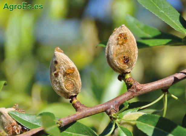 Antracnosis, Colletotrichum acutatum Simmonds