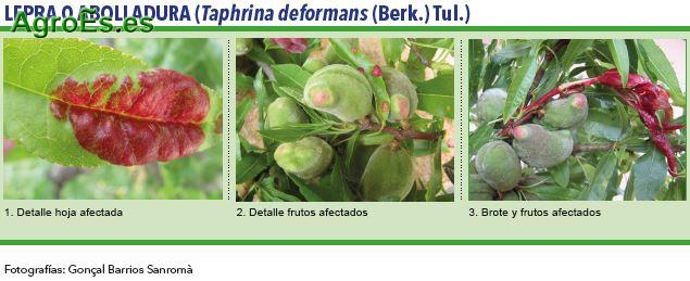 Lepra o abolladura,Taphrina deformans, Berk Tul.- Plagas del Almendro