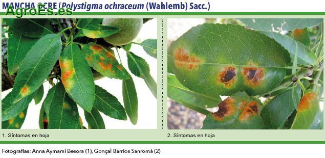 Mancha ocre, Polystigma ochraceum (Wahlemb) Sacc
