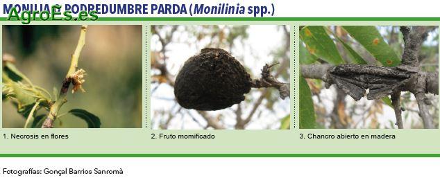 Monilia o Podredumbre Parda