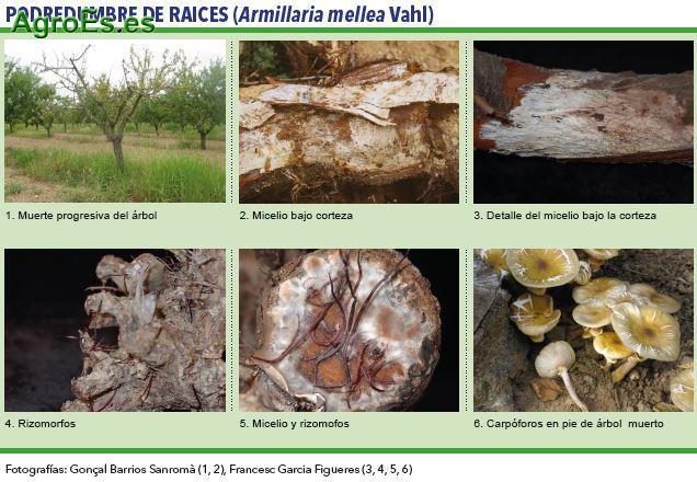 Podredumbre de raices, Armillaria mellea Vahl