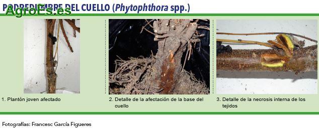 Podredumbre del cuello, Phytophthora spp