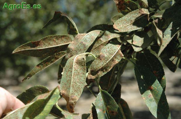 Roya, Tranzschelia pruni-spinosae Persoon Diete