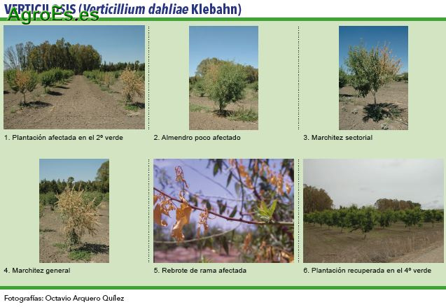 Verticilosis, Verticillium dahliae Klebahn