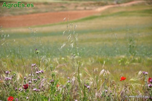 Herbicidas preemergentes de cereales