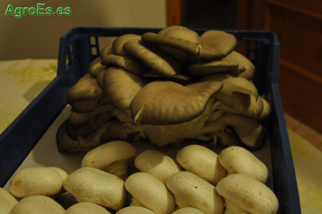 Comercialización de setas Pleurotus de Castilla la Mancha en España