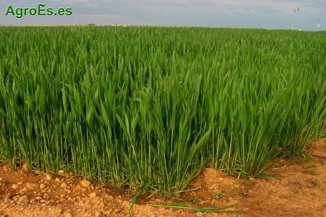 Cereales de invierno Trigo y cebada