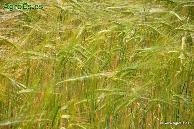 Fertilización con azufre, magnesio y microelementos en abonado de Cereales de Invierno