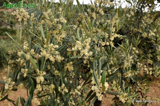 Abonado del Olivo - Fertilización cultivo Secano, Regadío, Producción Integrada y Abonos foliares