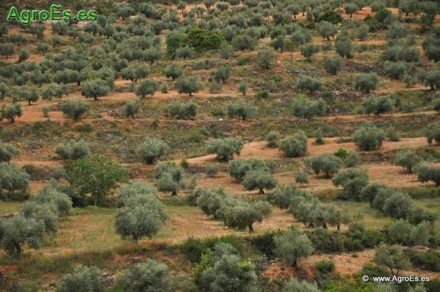 El Olivo - Papel de los nutrientes en el olivar - Síntomas de las deficiencias