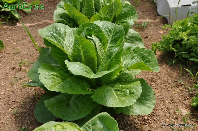 Cultivo de la Lechuga