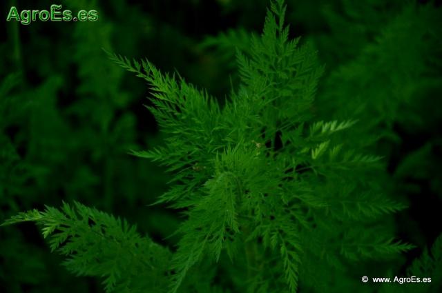 Abonado de Zanahoria, extracciones y Dosis de Nutrientes para fertilización con Nitrógeno, Fósforo y Potasa