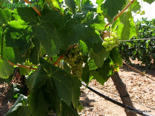 Macabeo o Viura variedad de uva blanca