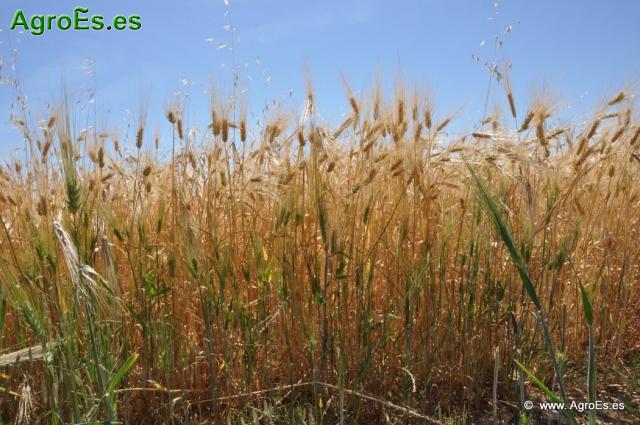 Control de Malas Hierbas en Agricultura Ecológica de Cereales de Secano