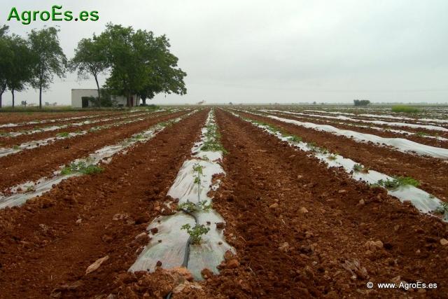 Vídeo sobre las principales etapas del cultivo de la sandía.