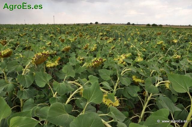 Evapotranspiración y coeficientes de cultivo del girasol en condiciones semiáridas