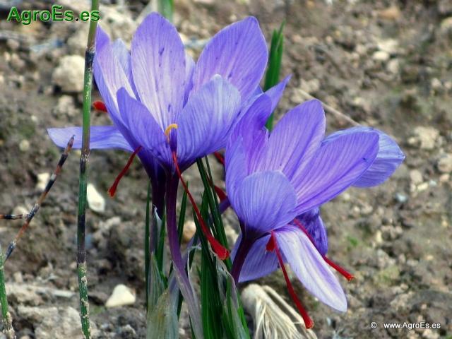 Abonado del azafrán en cultivo de azafranales