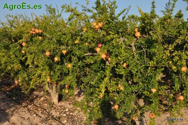 Fisiopatías del Granado, que afectan a su cultivo