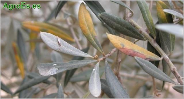 Emplomado o Repilo Plomizo - Pseudocercospora cladosporioides del Olivo