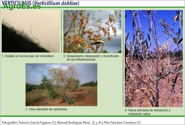 Verticilosis del olivo, Verticillium dahliae