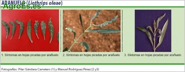 Arañuelo del Olivo - Liothrips oleae