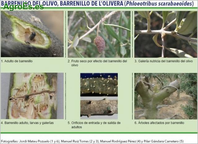 Barrenillo del olivo, barrenillo de l'olivera - Phloeotribus scarabaeoides