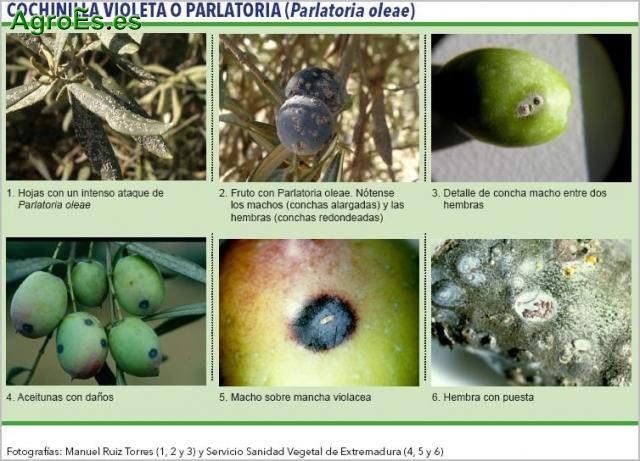 Conchinilla violeta en Olivo o parlatoria - Parlatoria oleae
