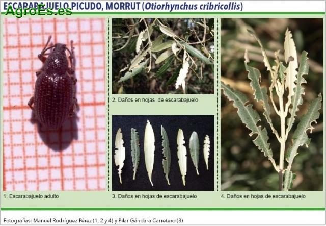 Escarabajuelo picudo del Olivo, morrut - Othiorhynchus cribricollis