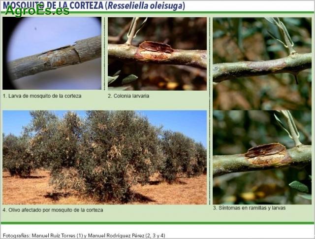 Mosquito de la corteza del Olivo - Resseliella oleisuga, origina ramitas secas en los árboles afectados.