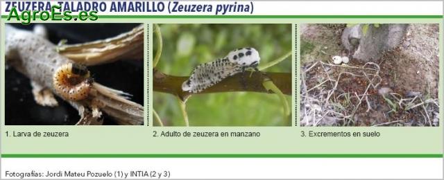 Zeuzera en Olivo, taladro amarillo - Zeuzera pyrina