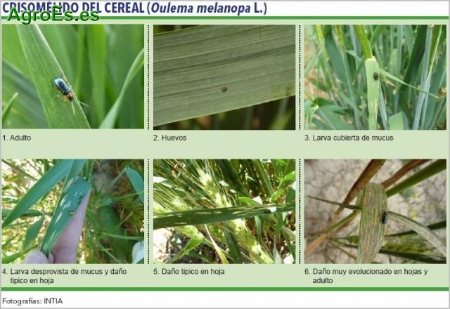 Crisomélido del cereal, Oulema melanopa