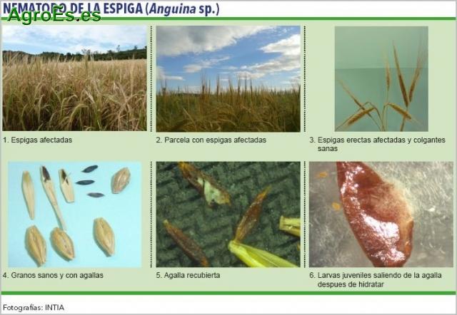 Nematodo de la espiga de cereales, Anguina
