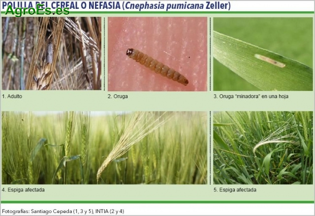 Polilla del Cereal o Nefasia, Cnephasia pumicana