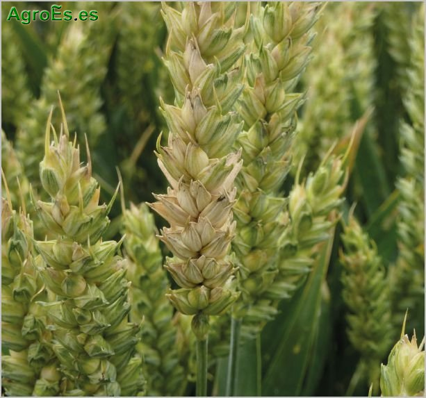 Fusariosis de cereales, F. graminearum, F. roseum y Microdochium nivale