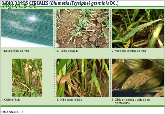 Oídio de los cereales, Blumeria, Erysiphe graminis DC