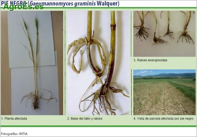Pie negro de cereales, Gaeumannomyces graminis