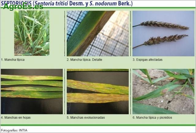 Septoriosis de cereales, Septoria tritici Desm. y S. nodorum Berk