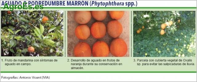 Aguado de Cítricos, Phytophthora spp