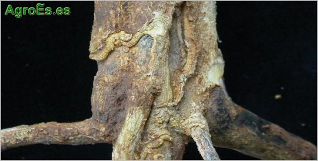 Podredumbre del cuello o Gomosis de cítricos