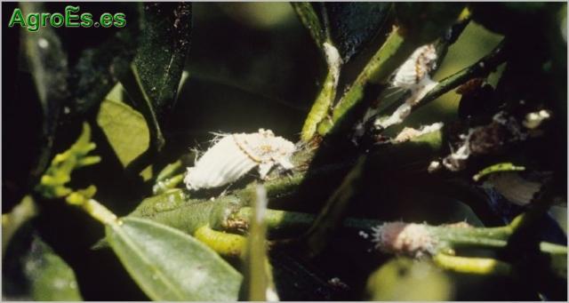Cochinilla acanalada en Cítricos, Icerya purchassi
