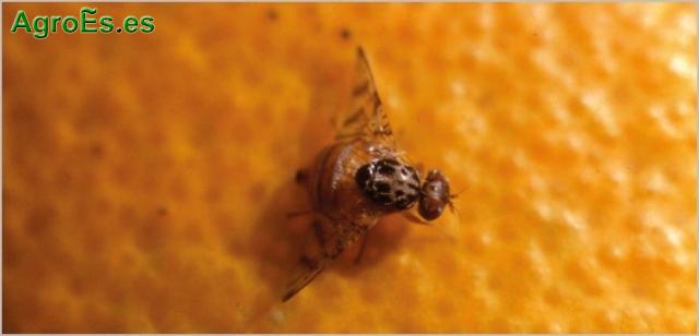 Mosca del Mediterráneo en cítricos, Ceratitis capitata