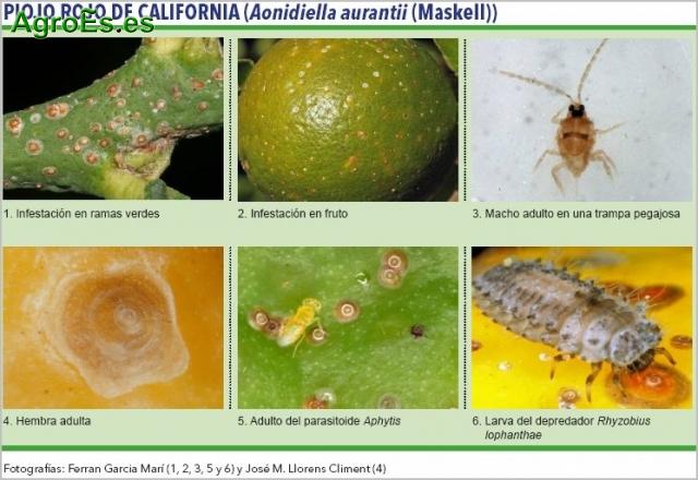 Piojo rojo de California en Cítricos, Aonidiella aurantii